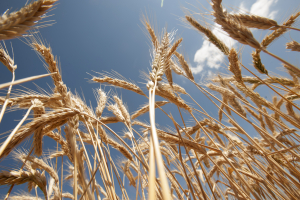 Dry wheat waves in the sun on Friday May 22, 2015 at UC Davis. This wheat is part of wheat geneticist and UC Davis plant science professor Jorge Dubcovsky's wheat research.