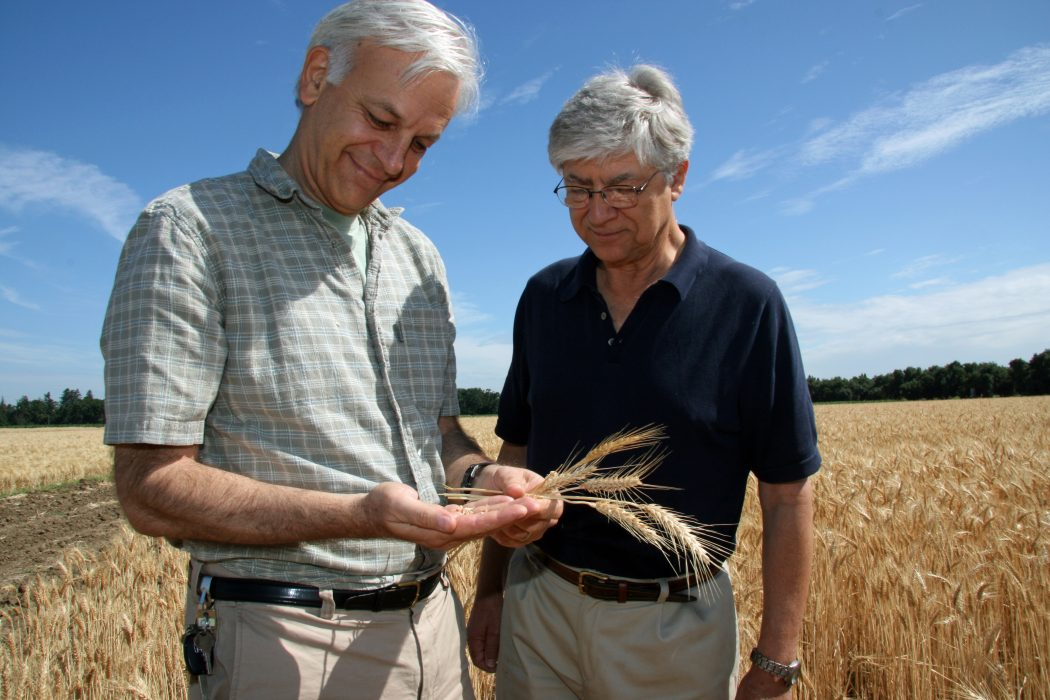 UC Davis professors, Jorge Dubcovsky of plant sciences and Jan Dvorak of agronomy and range science, examine wheat in a campus field. Photo taken in 2010.